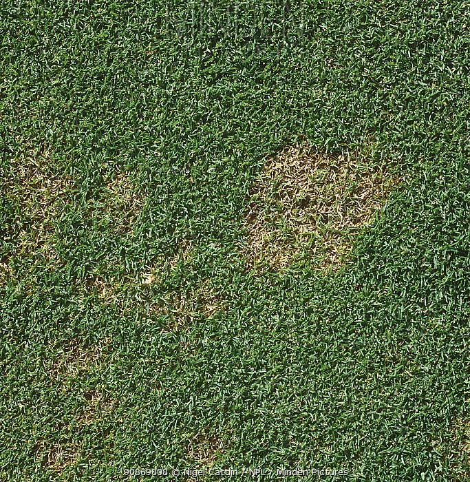Snow mould / fusarium patch (Monographella nivalis var nivalis) in close mown golf course green turf, Berkshire, October