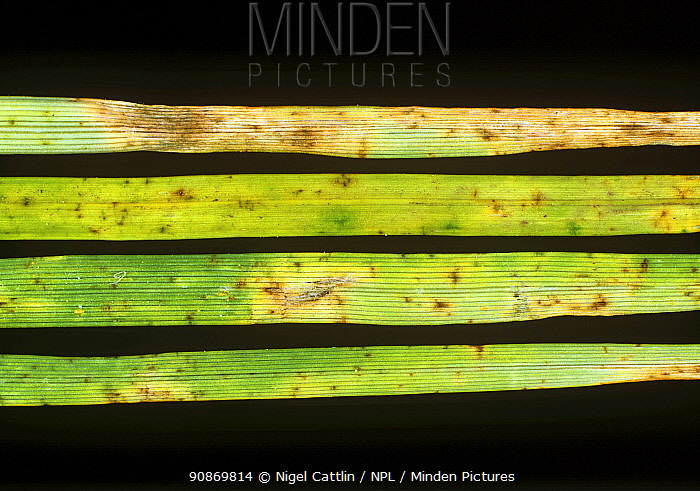 Leaf spot (Cochliobolus sativus / Bipolaris sorokiniana) fungal disease lesions on grass (Agrostis sp.) leaves
