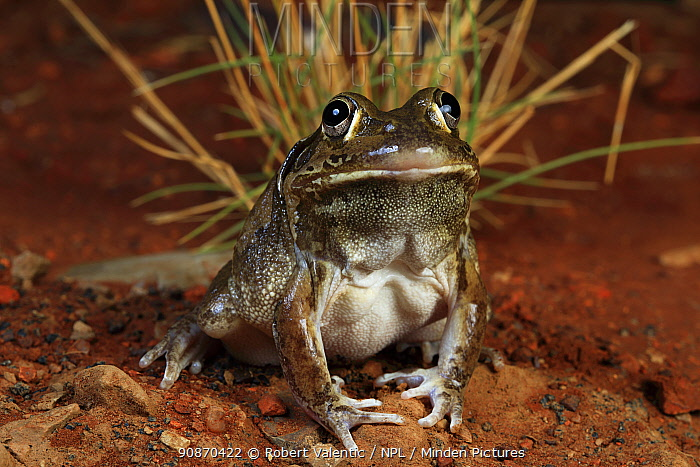 Giant frog (Cyclorana australis) breeding male, from a river gorge, Queensland, Australia. Controlled conditions.