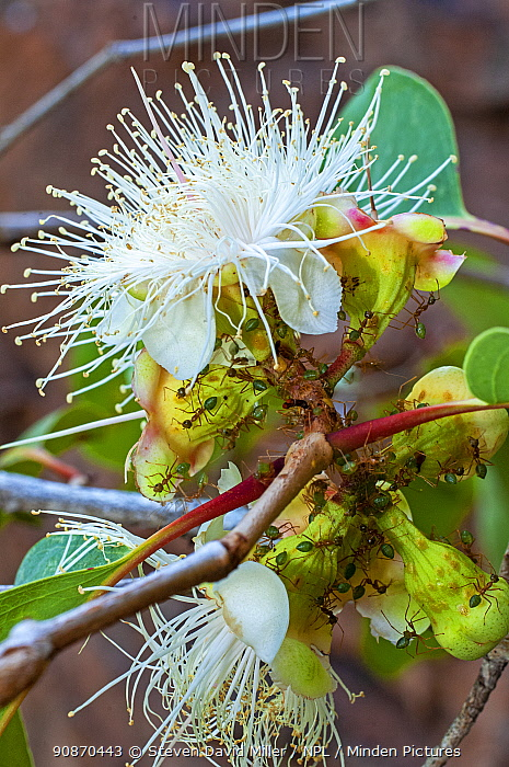 A colony of Green tree ants (Genus Oecophylla) gathering the nectar of a blossoming Proteaceae shrub, Cape York Peninsula, Queensland, Australia. September.