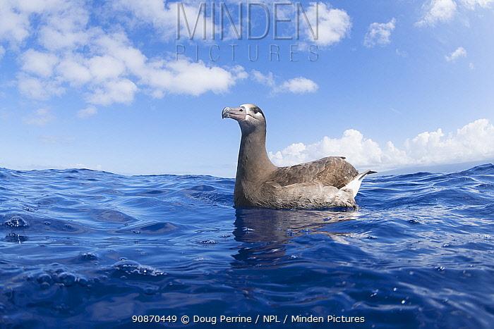 Black-footed albatross (Phoebastria nigripes) floating in ocean off South Kona, Hawaii Island, Hawaii, USA. Central Pacific Ocean. March.