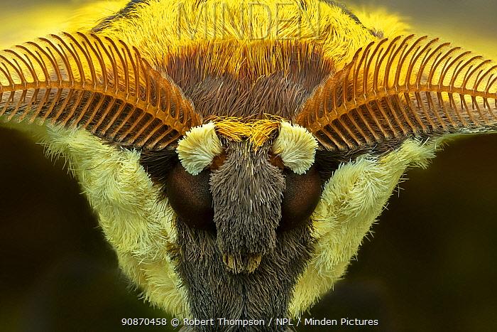 Cat's-eyed emperor moth (Aurivillius aratus), Amedzofe, Ghana. Controlled conditions.