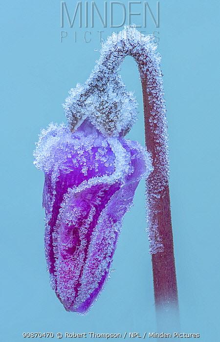 Frosted Cyclamen flower (Cyclamen hederifolium) Mature Garden Banbridge, County Down, Northern Ireland.