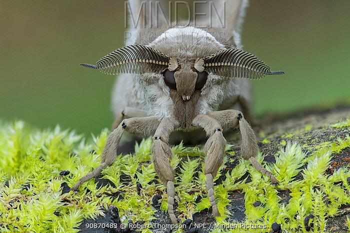 Moth (Lobobunaea phaedusa) Obout village, Cameroon, Africa Controlled conditions.
