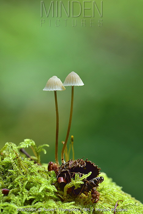 Snapping bonnet toadstool (Mycena vitalis) Pomeroy Forest, north of Donaghmore, County Tyrone