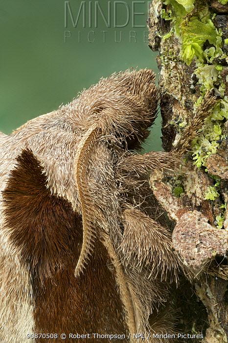 Moth (Stoermeriana pachyla) on leaf, Dazalanyama Forest, Malawi, east Africa. Controlled conditions.