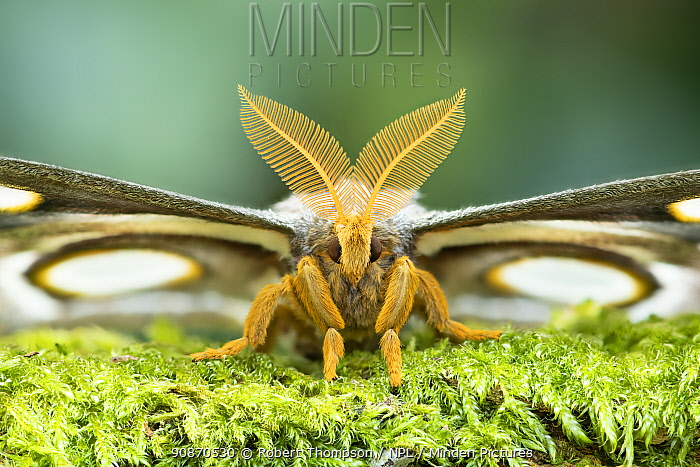 White-ringed atlas moth (Epiphora mythimnia) portrait, Kenya, Africa