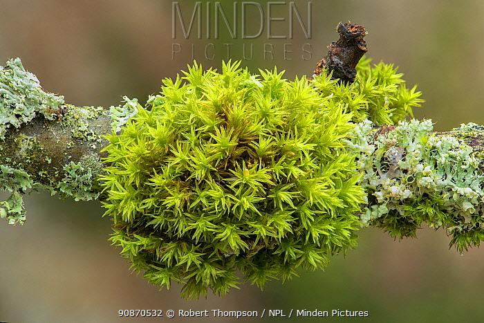 Wood bristle-moss (Orthotrichum affine) Peatlands & Annagarriff Wood NNR, County Armagh, Northern Ireland.