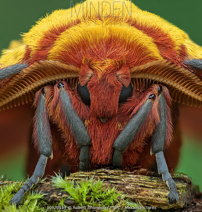 African golden emperor moth (Gonimbrasia krucki), close up of male head , Kenya, Africa Controlled conditions.