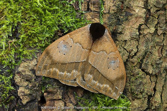 Saturniid moth (Automeris banus), Poza, Honda Manabi Province, Ecuador Controlled conditions.
