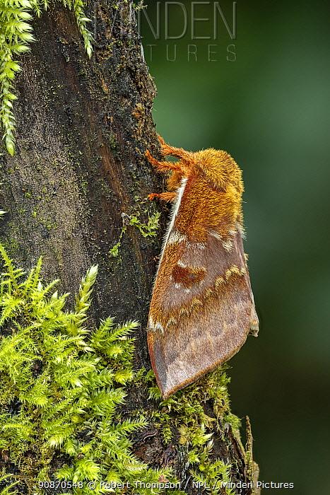 Saturniid moth (Automeris io io), occurs in Central America Controlled conditions.