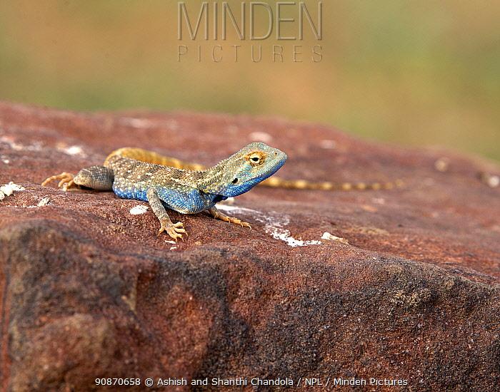 Brilliant ground agama (Trapelus agilis) male on rock, Rajasthan, India.