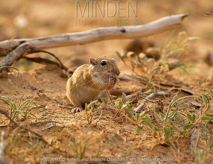 Indian desert jird (Meriones hurrianae), feeding, Desert National Park, Rajasthan, India.