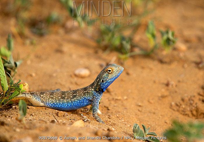 Brilliant ground agama (Trapelus agilis) male in desert habitat, Rajasthan, India.