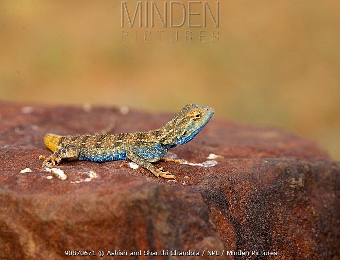 Brilliant ground agama (Trapelus agilis) male sat on rock, Rajathan, India.