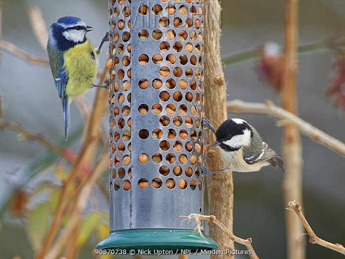 Blue tit (Cyanistes caeruleus) and Coal tit (Periparus ater) feeding on peanuts in garden bird feeder after recent snow, Wiltshire, England, UK, January.
