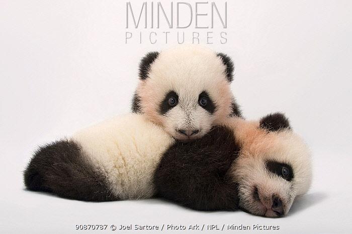 Twin giant panda cubs (Ailuropoda melanoleuca) Mei Lun and Mei Huan, the at Zoo Atlanta.