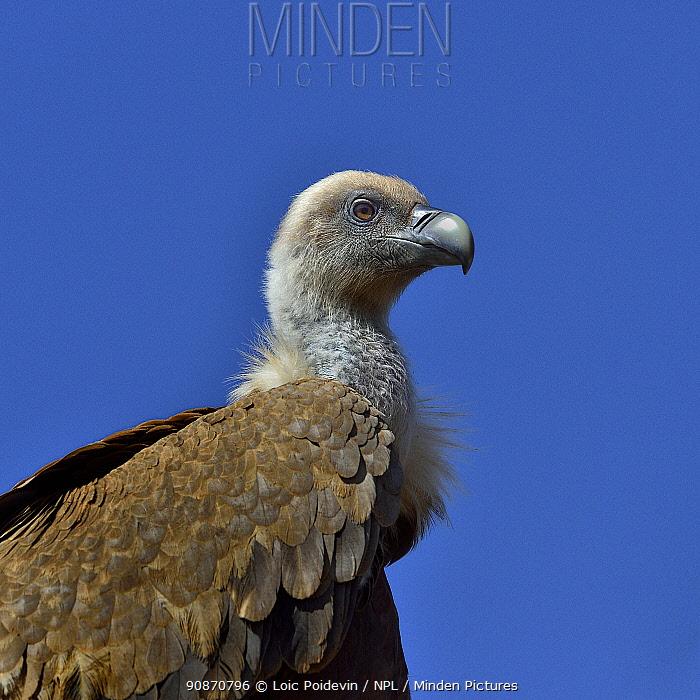 Griffon vulture (Gyps fulvus) in profile, Lozere, France, Europe.