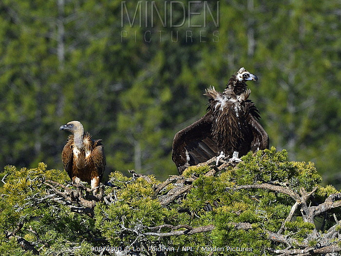 Cinereous Vultures (Aegypius monachus), two perched in top of tree, Lozere, France, Europe.