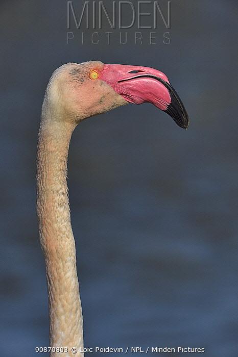 Greater flamingo (Phoenicopterus roseus) in profile, Camargue, France, Europe.