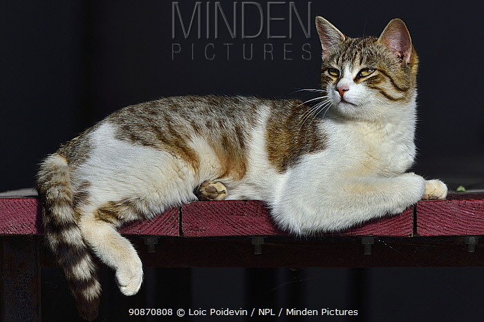 Tortoishell domestic cat lounging on wooden planks, Camargue, France, Europe.