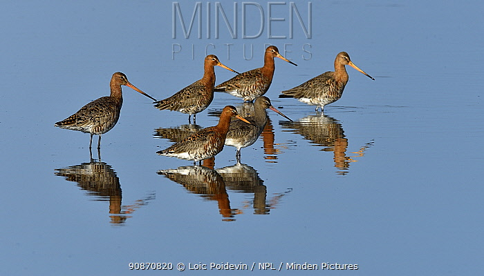 Black-tailed godwit (Limosa limosa) group foraging in water, Vendeen Marsh,Vendee, France, Europe.