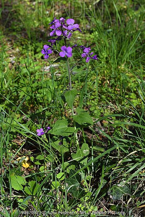 Annual honesty (Lunaria annua), Lozere, France, Europe.