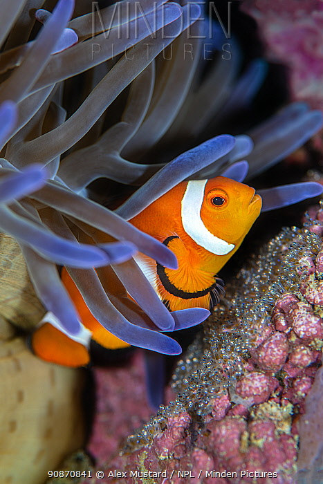 Clownfish (Amphiprion ocellaris) guarding a clutch of eggs beneath a magnificent sea anemone (Heteractis magnifica). Anilao, Batangas marine protected area, Luzon, Philippines. Verde Island Passages, Tropical West Pacific Ocean.