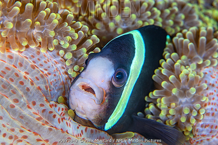 Portrait of a Clark's anemonefish (Amphiprion clarkii) in a sea anemone on a coral reef. Dauin, Dauin Marine Protected Area, Dumaguete, Negros, Philippines. Bohol Sea, tropical west Pacific Ocean.