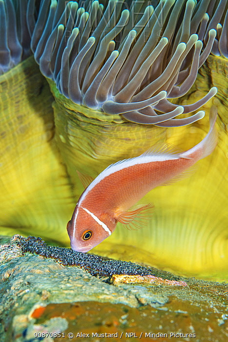 Pink anemonefish (Amphiprion perideraion) cares for its eggs beneath a magnificent sea anemone (Heteractis magnifica) on a coral reef. Dauin, Dauin Marine Protected Area, Dumaguete, Negros, Philippines. Bohol Sea, tropical west Pacific Ocean.