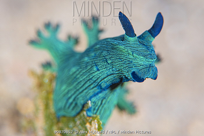 Portrait of a Nudibranch (Nembrotha milleri) on a coral reef. Dauin, Dauin Marine Protected Area, Dumaguete, Negros, Philippines. Bohol Sea, tropical west Pacific Ocean.