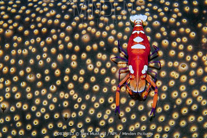 Portrait of a large female Emperor shrimp (Zenopontonia rex/ Periclimenes imperator) on a sea cucumber (Bohadschia sp.). Dauin, Dauin Marine Protected Area, Dumaguete, Negros, Philippines. Bohol Sea, tropical west Pacific Ocean.