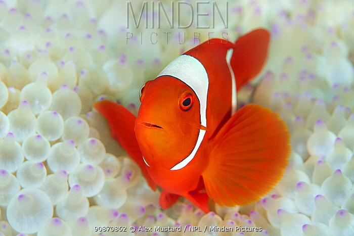 Spinecheek anemonefish (Premnas biaculeatus) female in home, bleached Bulb tentacle sea anemone (Entacmaea quadricolor) Misool, Raja Ampat, West Papua, Indonesia. Ceram Sea. Tropical West Pacific Ocean.