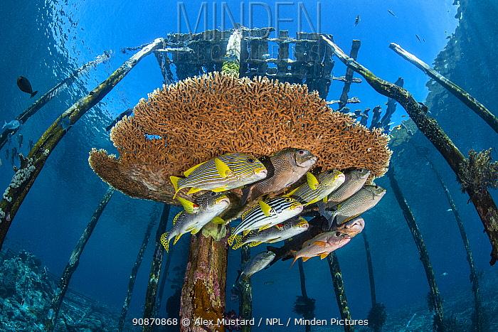 Mixed school of large fish, incliuding lined rabbitfish (Siganus lineatus), diagonal-banded sweetlips (Plectorhinchus lineatus) onespot snapper (Lutjanus monostigma), oriental sweetlips (Plectorhinchus vittatus). Raja Ampat, West Papua.