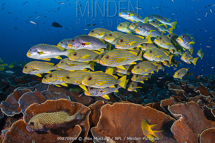 Mixed school of diagonal-banded sweetlips (Plectorhinchus lineatus) and ribbon sweetlips (Plectorhinchus polytaenia) gather above plate corals, with convict blennies (Pholidichthys leucotaenia). Saunderek jetty, Mansaur Island, Raja Ampat, West Papua, Indonesia. Dampier Strait. Tropical West Pacific Ocean.