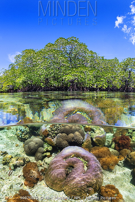 Split level photo of mangrove scenery, with hard corals (including Porites sp.) growing below Red mangrove tree (Rhizophora sp.). Nampale Islands, Misool, Raja Ampat, West Papua, Indonesia. Tropical West Pacific Ocean.