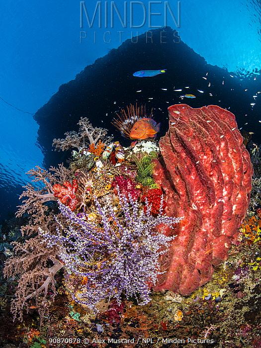 Reef scene with a Giant barrel sponge (Xestospongia testudinaria) Coral grouper (Cephalopholis miniata) beneath island. Pelee Islands, Misool, Raja Ampat, West Papua, Indonesia. Ceram Sea. Tropical West Pacific Ocean.