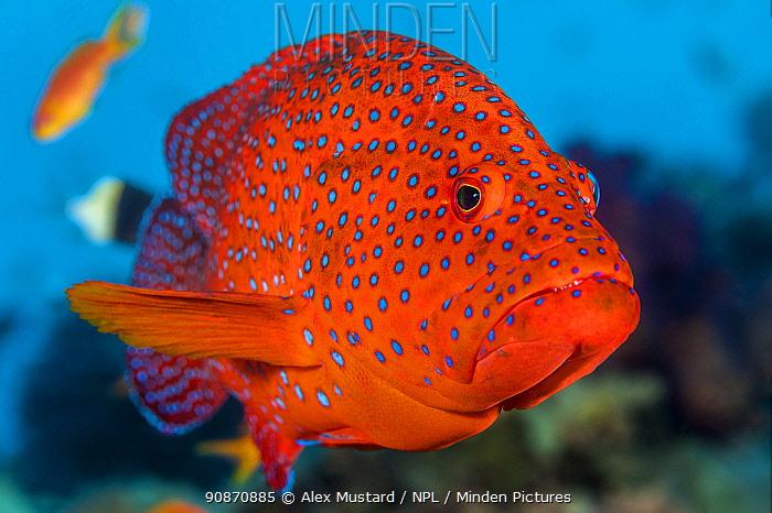 Portrait of a Coral grouper (Cephalopholis miniata) on a reef. Ras Mohammed National Park, Sinai, Egypt. Red Sea