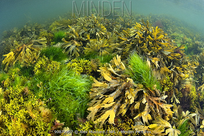 Shallow water seaweeds (including sea lettuce: Ulva spp. and serrated wrack: Fucus serratus) carpet the seabed. Looe, Cornwall, England, United Kingdom. British Isles. English Channel, North East Atlantic.