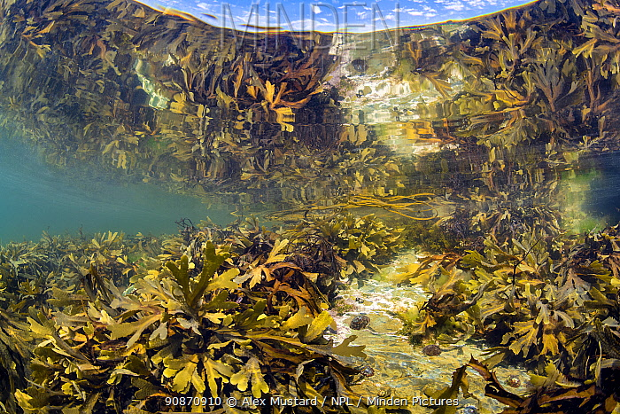 Serrated wrack (Fucus serratus) reflected in the surface as it grows in a rockpool. Looe, Cornwall, England, United Kingdom. British Isles. English Channel, North East Atlantic.