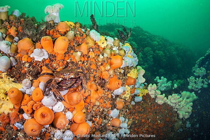 Larger male (top) velvet swimming crab (Necora puber) guards a smaller female prior to mating, sheltering in orange and white soft plumose anemones (Metridium dianthus). St Abbs, Eyemouth, Berwickshire, Scotland, United Kingdom. British Isles. North Sea.
