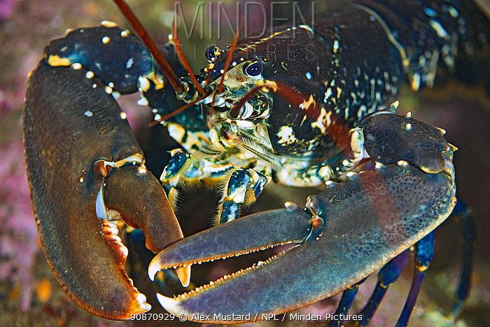 Portrait of a European lobster ( Homarus gammarus). Farne Islands, Northumberland, England, United Kingdom. British Isles. North Sea
