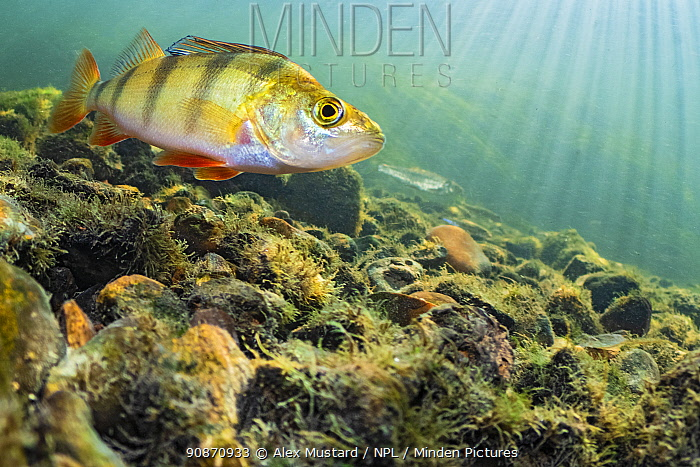 Young perch swimming in the rivers. River Nene, Castor, Peterborough, Cambridgeshire, England, United Kingdom.
