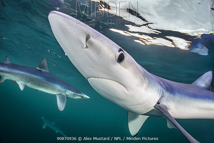 Three blue sharks (Prionace glauca) cruises beneath the surface. Penzance, Cornwall, England, United Kingdom. British Isles. North East Atlantic Ocean.