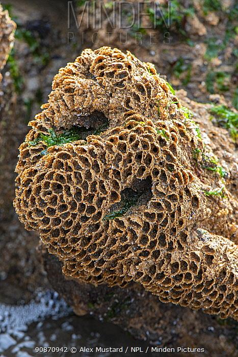 Colony of Honeycomb worms (Sabellaria alveolata) exposed at low tide. Duckpool, Bude, Cornwall, England, United Kingdom. British Isles. North East Atlantic Ocean.
