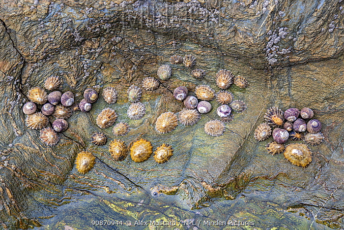 Life in a rockpool, including acorn barnacles (unidentified), black-footed limpets (Patella depressa), common limpets (Patella vulgata) and common periwinkles (Littorina littorea). Falmouth, Cornwall, England, United Kingdom. British Isles. North East Atlantic Ocean.