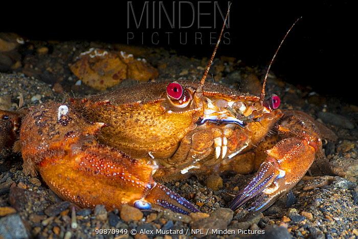 Portrait of a Velvet swimming crab (Necora puber). Fort William, Lochaber, The Highlands, Scotland, United Kingdom. Loch Linnhe, North East Atlantic Ocean. British Isles