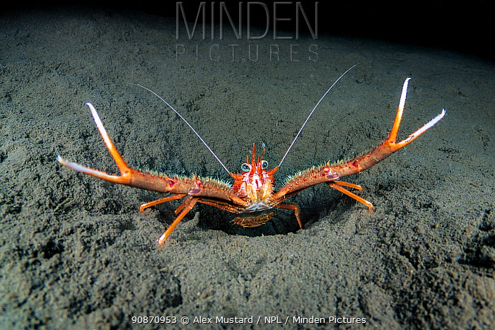 Long-clawed squat lobster (Munida rugosa) displays its claws defiantly at the entrance of its burrow. Glencoe, Ballachulish, Lochaber, The Highlands, Scotland, United Kingdom. Loch Leven, Loch Linnhe, North East Atlantic Ocean. British Isles.