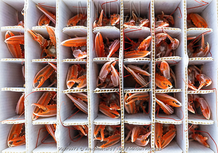 Catch of Norway lobster / Langoustine ( Nephrops norvegicus) packed into individual containers, photographed on a fishing boat. Kinlochbervie, Sutherland, The Highlands, Scotland, United Kingdom. Loch Inchard, The Minch, North East Atlantic Ocean.