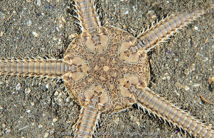 Detail of a Sand britlestar (Ophiura ophiura). Kinlochbervie, Sutherland, The Highlands, Scotland, United Kingdom. Loch Inchard, The Minch, North East Atlantic Ocean. British Isles